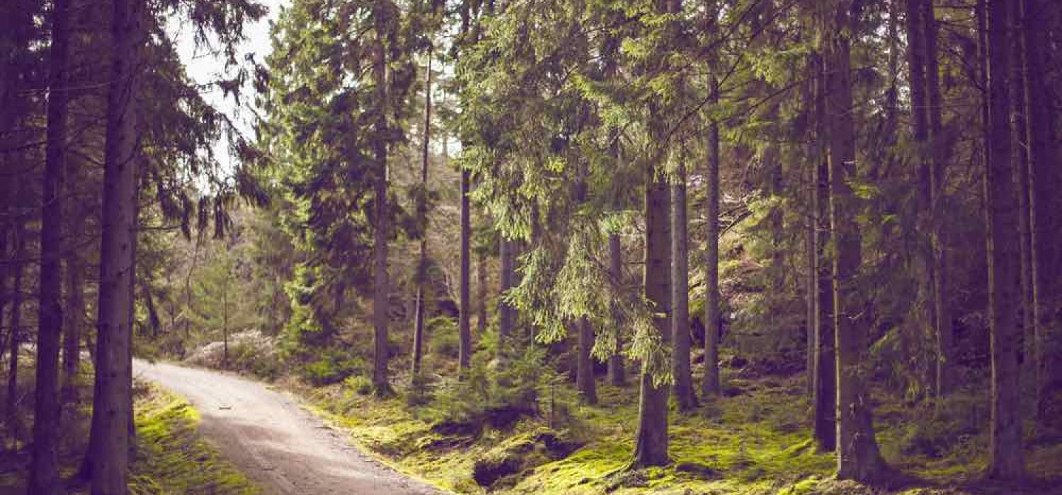 Photo of a gravel driveway through a green forest with tall trees
